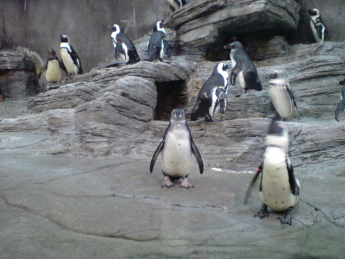 ペンギンと見つめ合い